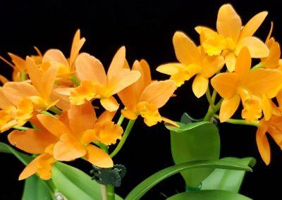 Cattleya Flora