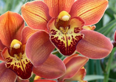 Cymbidium Madame Papillon
