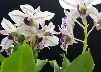 Dendrobium 'Roy Tokunaga'