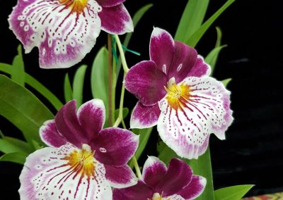 Miltoniopsis 'Breathless'