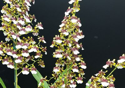 Oncidium 'Space Race'