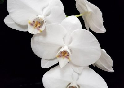 Phalaenopsis Sogo Yukidian