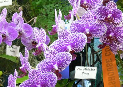 Phalaenopsis I-Hsin Sun Beauty