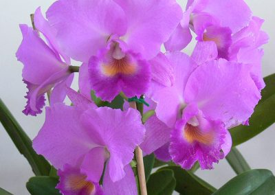 Cattleya Adolf Hecker 'Val'
