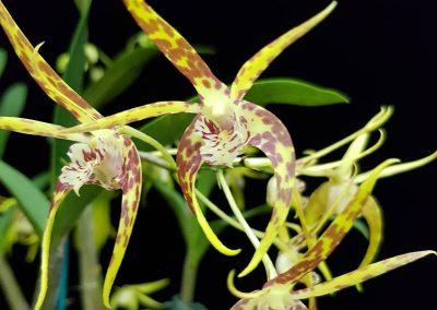Dendrobium Australian Tiger Star