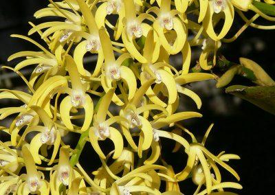 Denrobium speciosum var grandiflorum