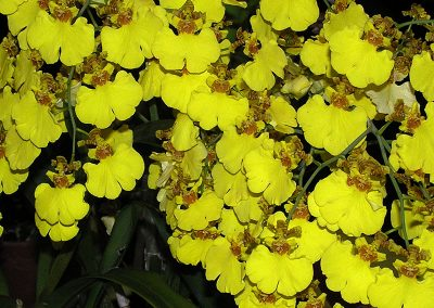 Oncidium (Dancing Lady Orchid)