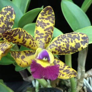 C. Jungle Eyes 'Frizzo'