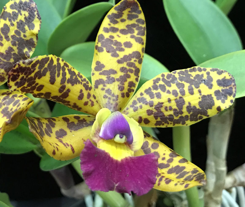 Cattleya Jungle Eyes 'Frizzo'