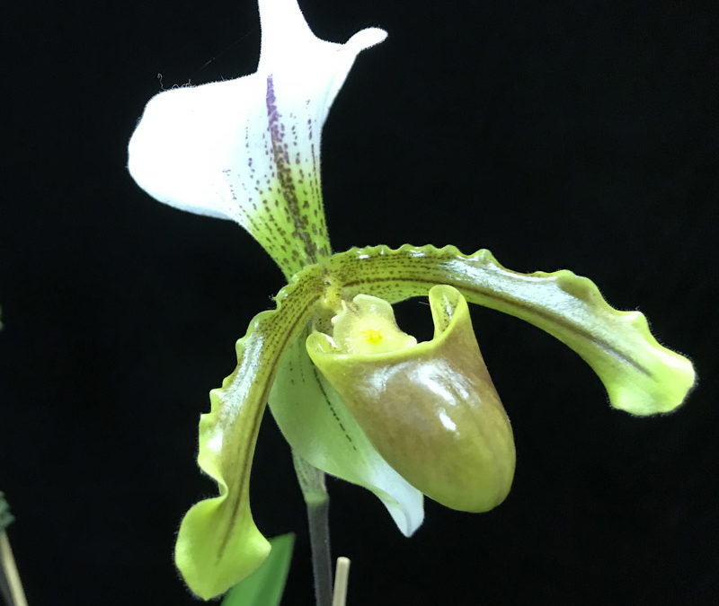 Paph insigne